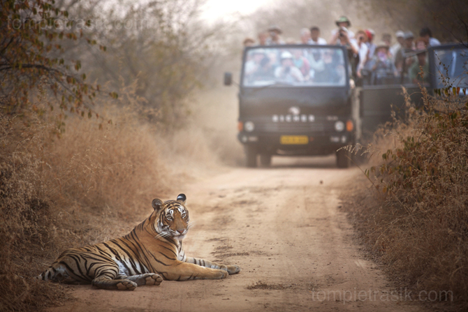 A two year old female tiger known as T19 and tourists at Rantambore National Park. © Tom Pietrasik 2008